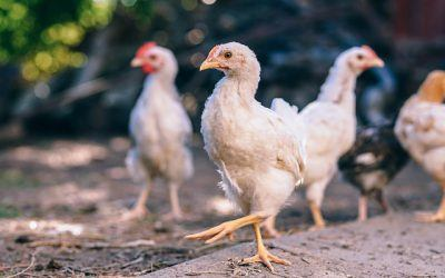 Ewolucja – jajko, pisklak, kura, superkura